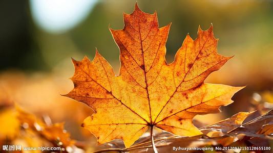 【留住秋天】 一片梧桐树叶书签