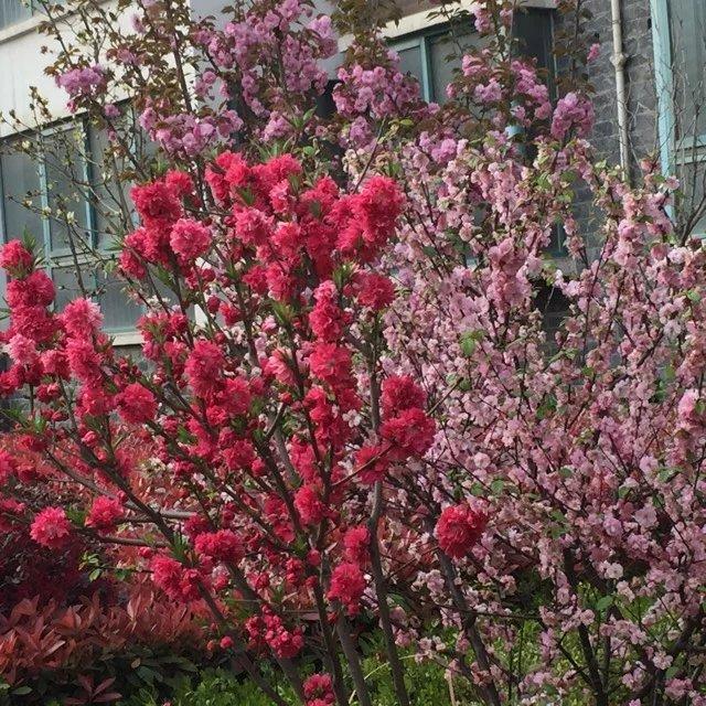 首页 育儿论坛 美食旅游 风景秀丽 【寻找春天最美的花】满眼繁花似锦