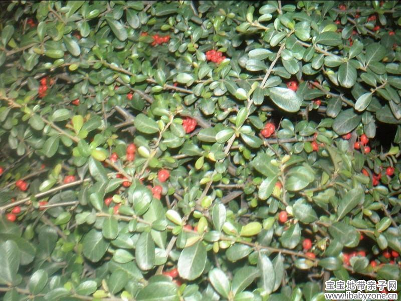 绿绿的叶子,像冬青树,可是上面还有刺耳!