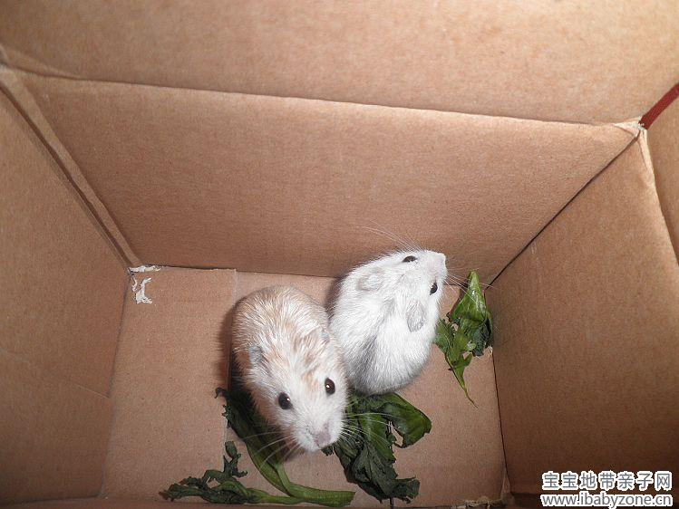 可爱的小仓鼠你会养吗?