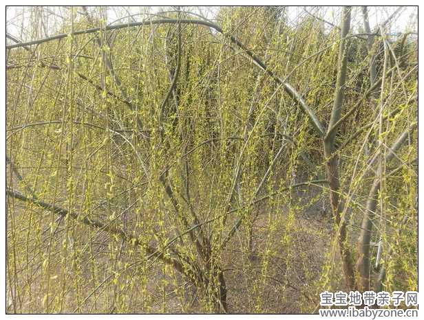 春光泛滥,柳树发芽