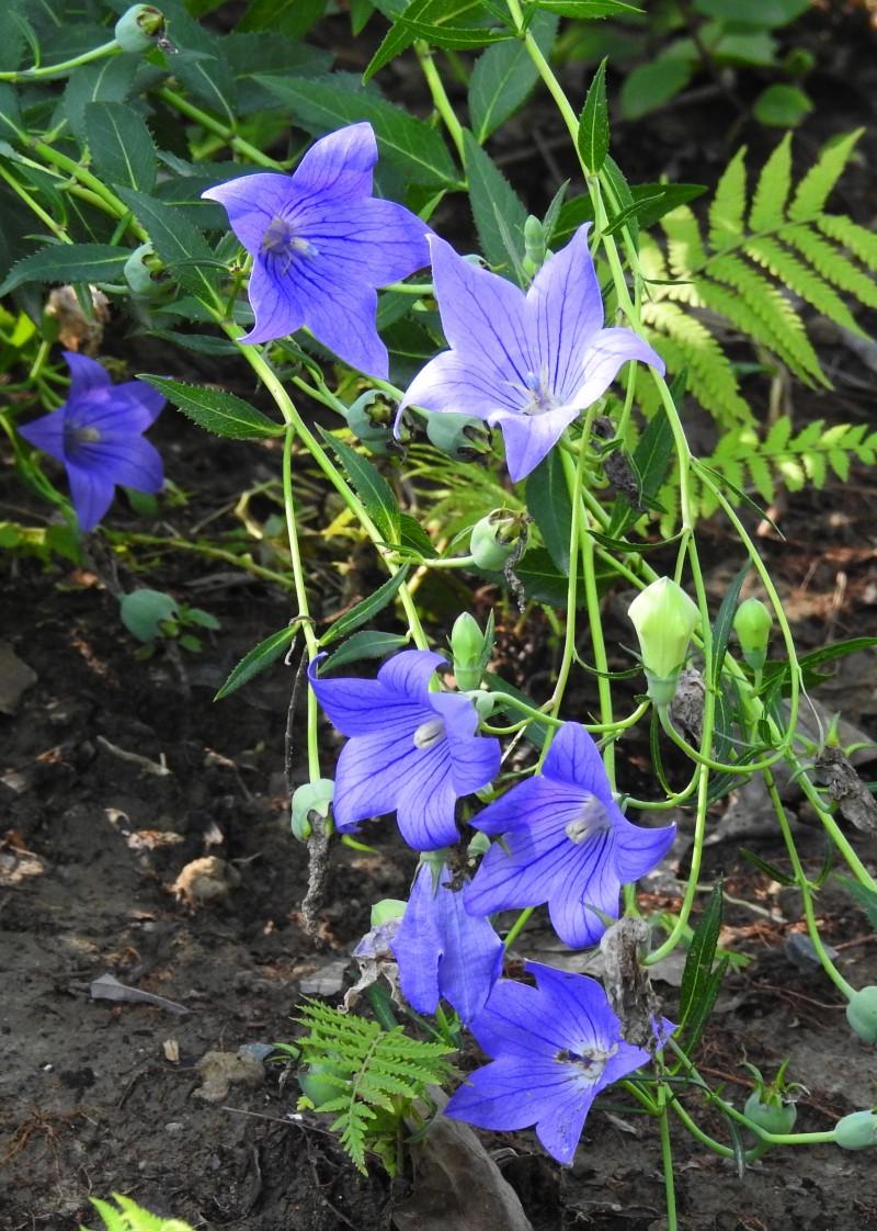 蓝紫海(桔梗)